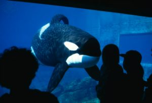 Killer Whale Or Orca Orcinus Orca (Photo by Kevin Schafer / NHPA / Photoshot / Universal Images Group, used with permission of Brittanica ImageQuest)